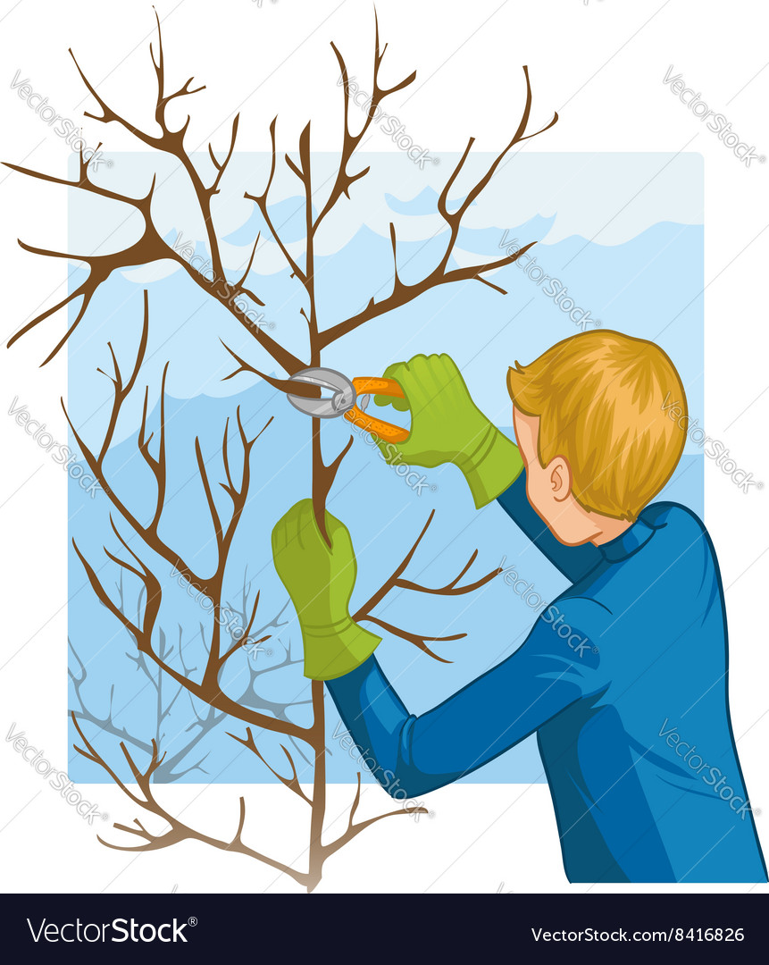 Young man trimming a tree with garden clippers vector image