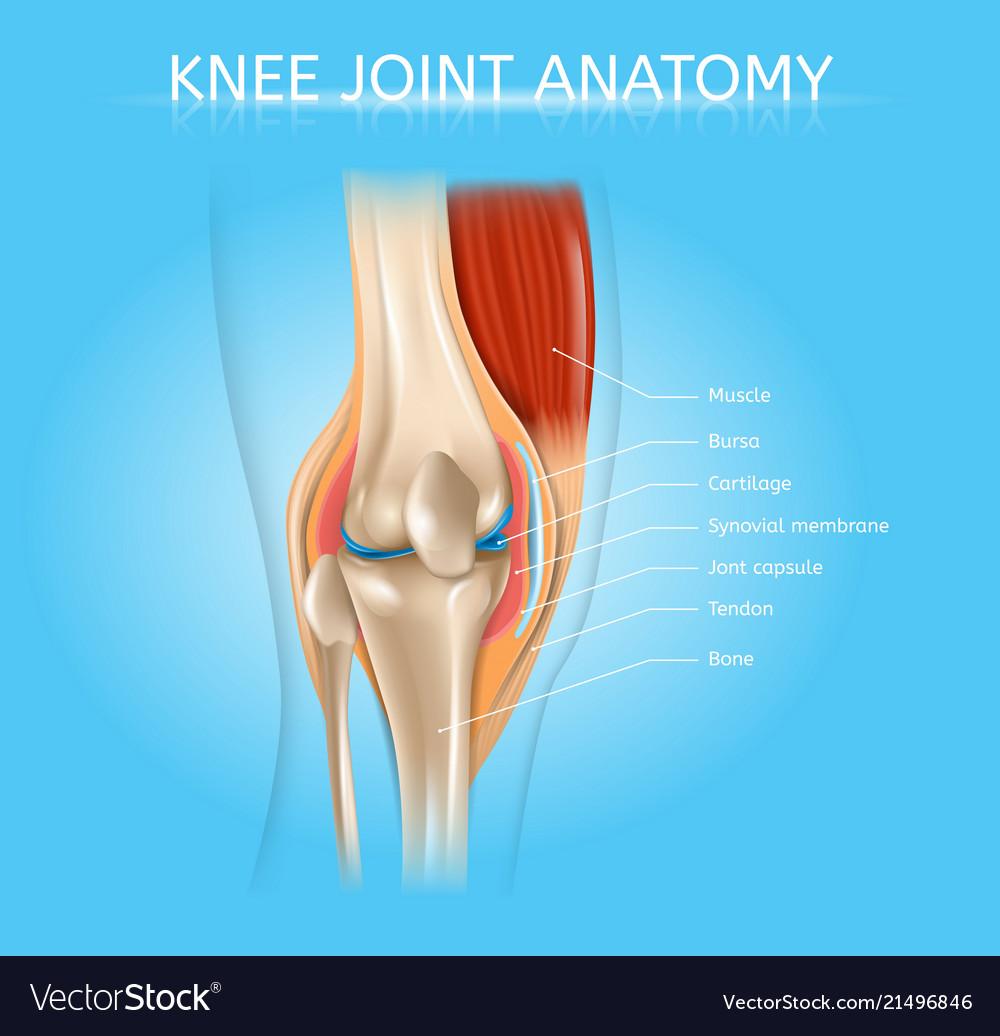Human knee joint anatomy realistic scheme Vector Image