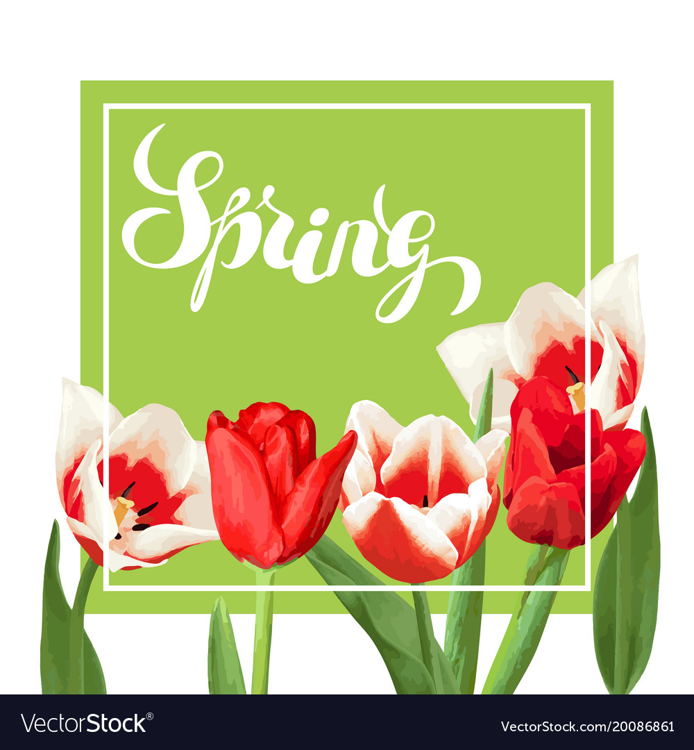 Spring background with red and white tulips