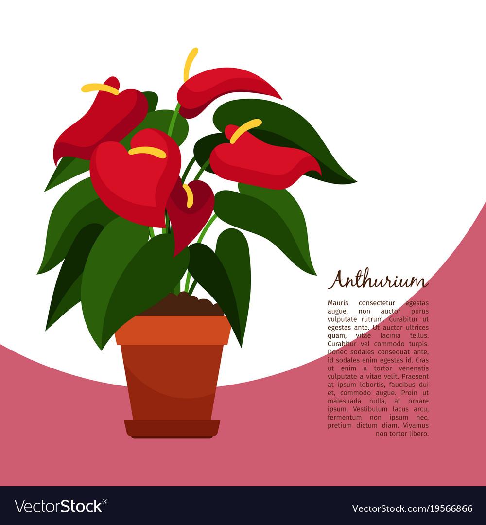 Anthurium plant in pot banner