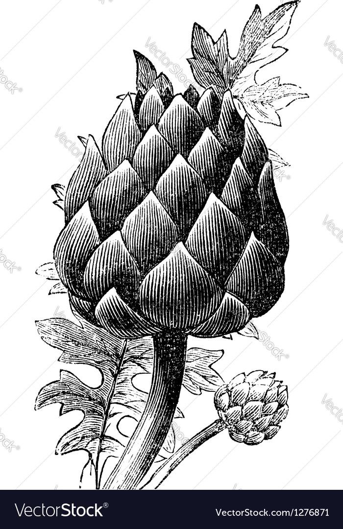 Artichoke globe artichoke engraving vector image