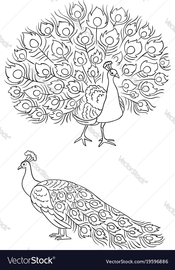 Peacock in outlines