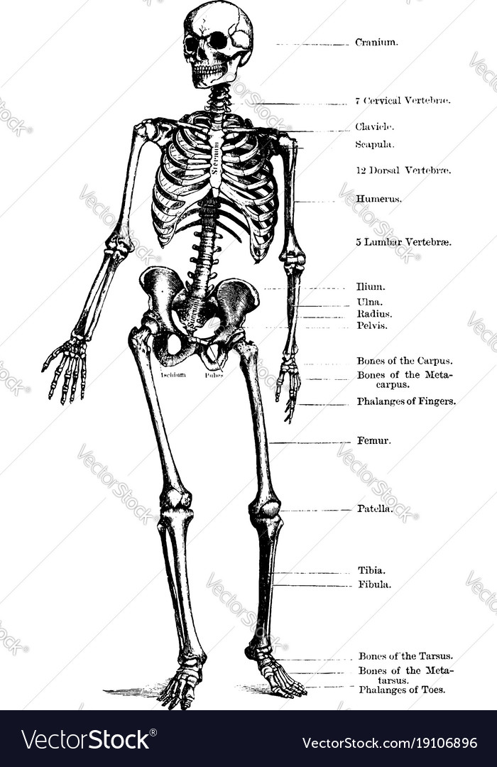 Human Skeleton Vintage Royalty Free Vector Image