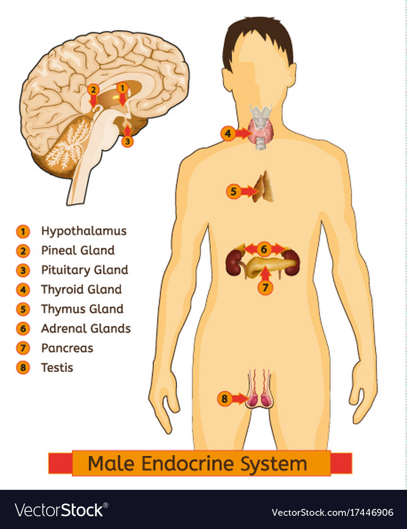 Endocrine System Image Royalty Free Vector Image