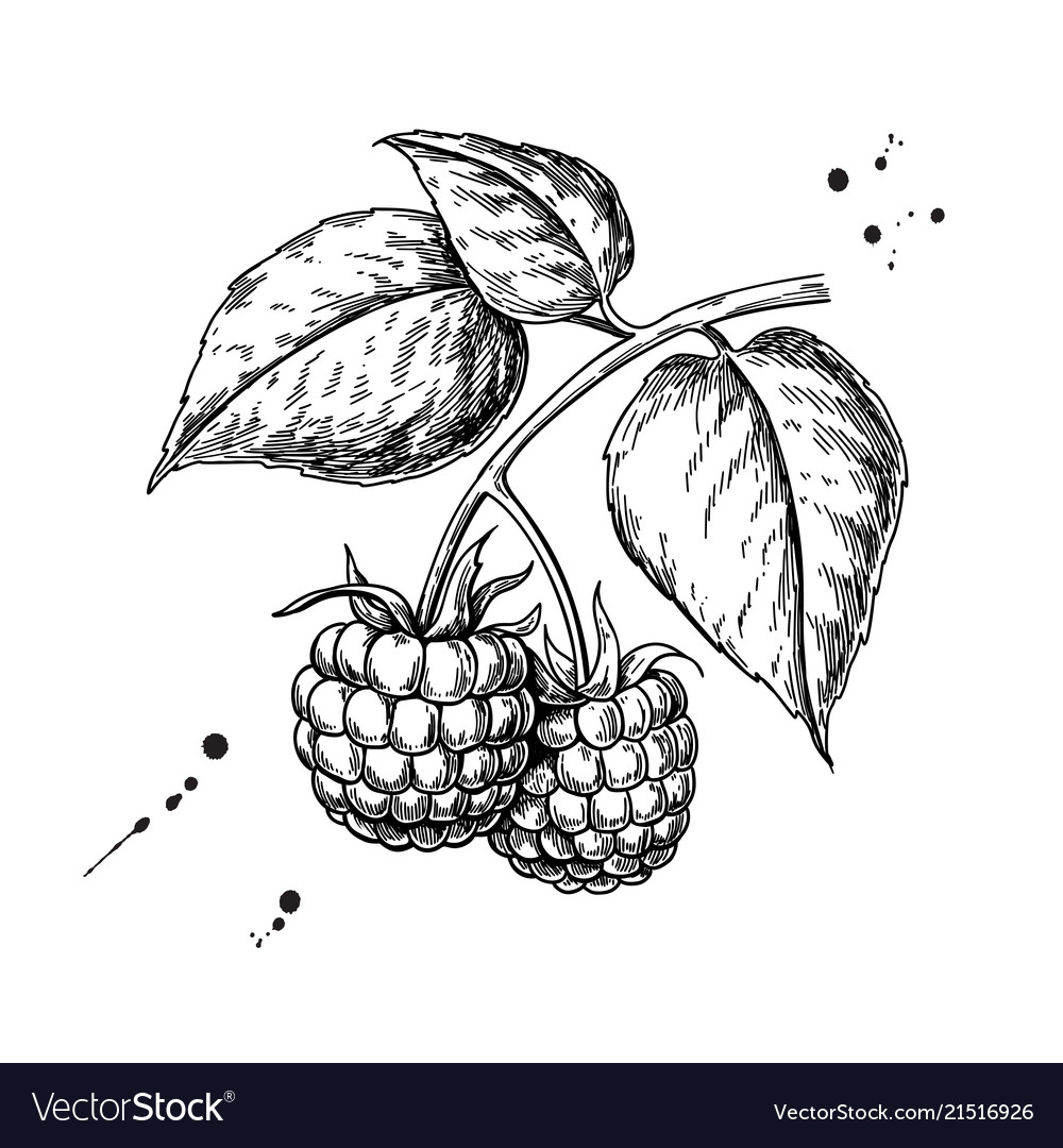 Raspberry drawing isolated berry branch
