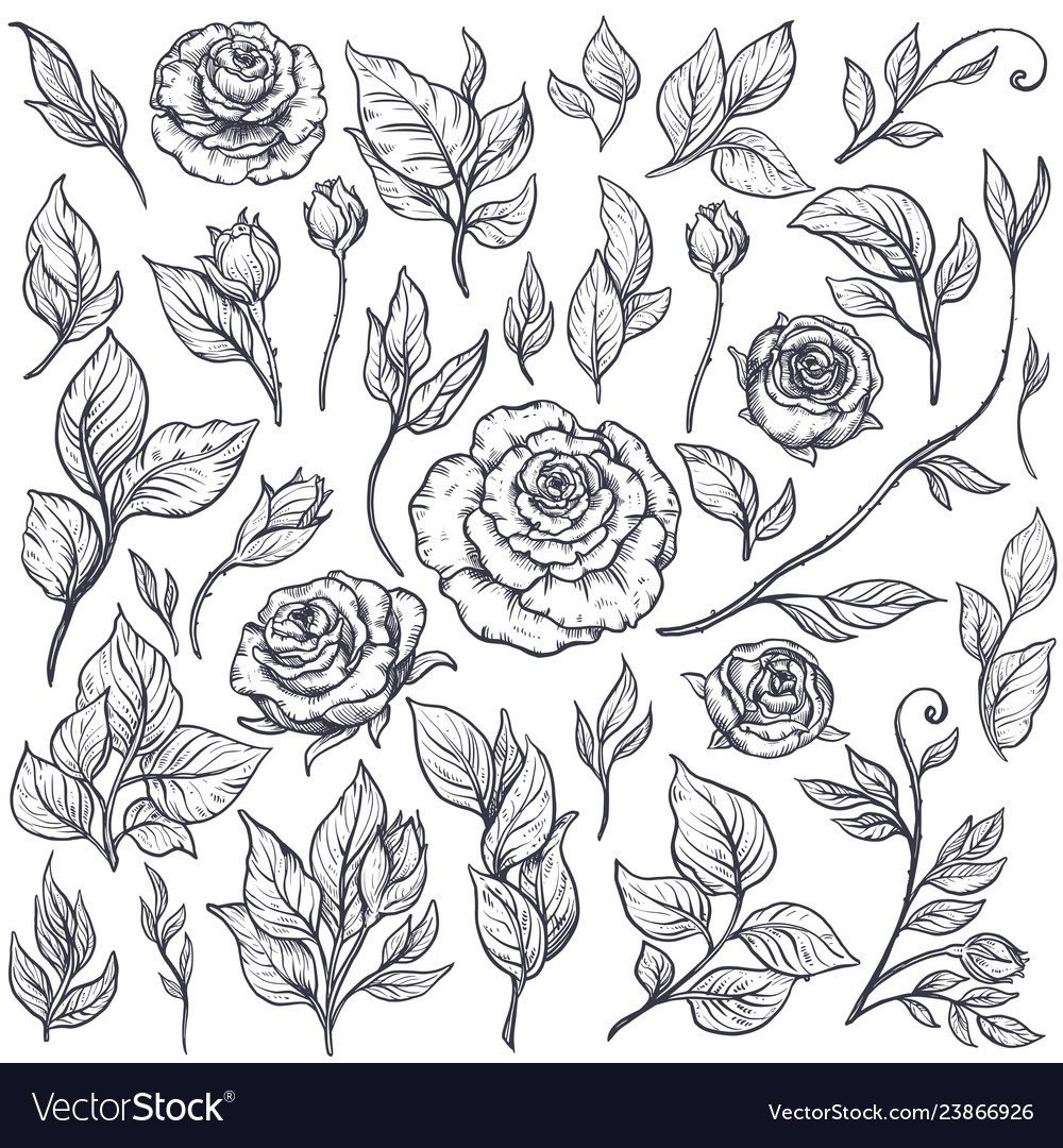 Set roses and leaves hand drawn