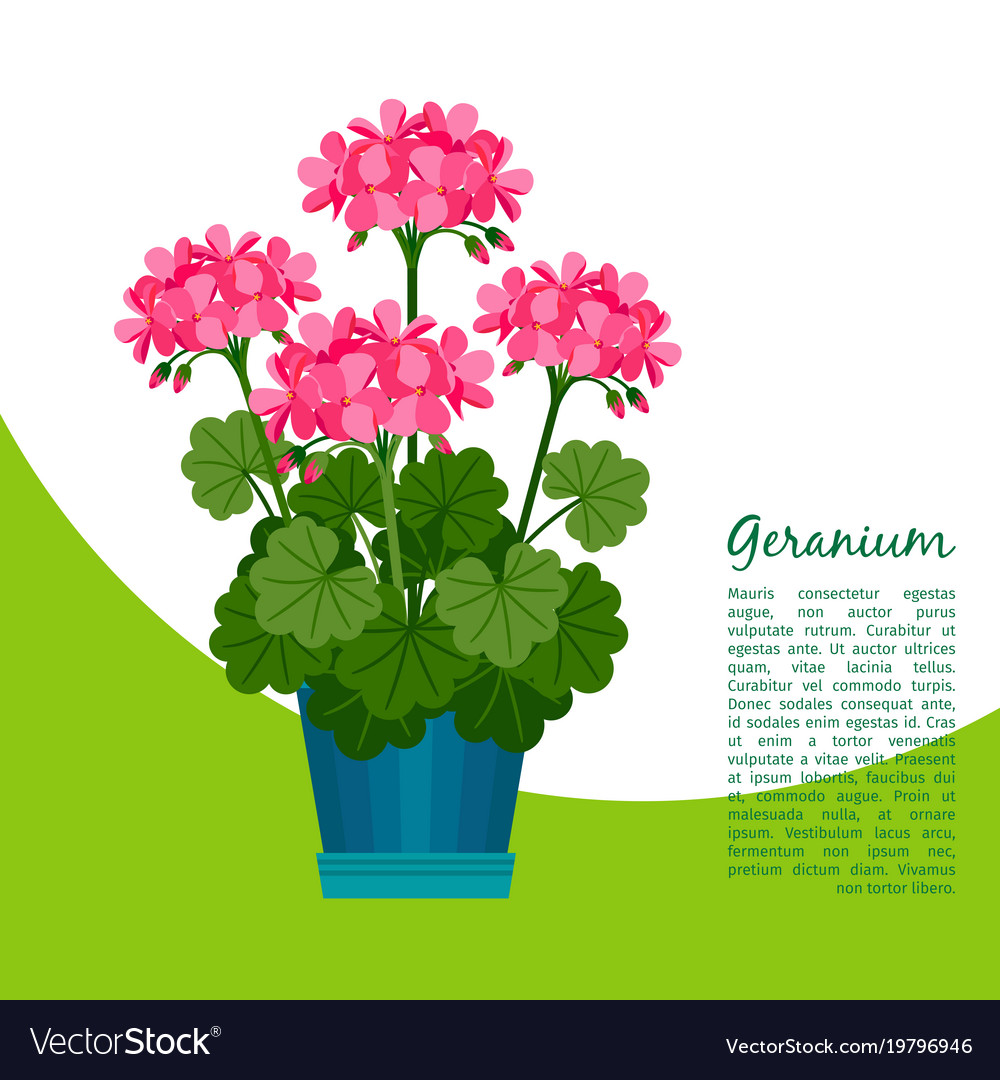 Geranium Plant In Pot Banner Royalty Free Vector Image