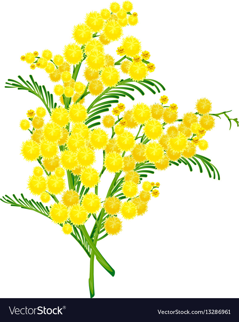 Yellow Acacia Blossom Branch Flower Royalty Free Vector