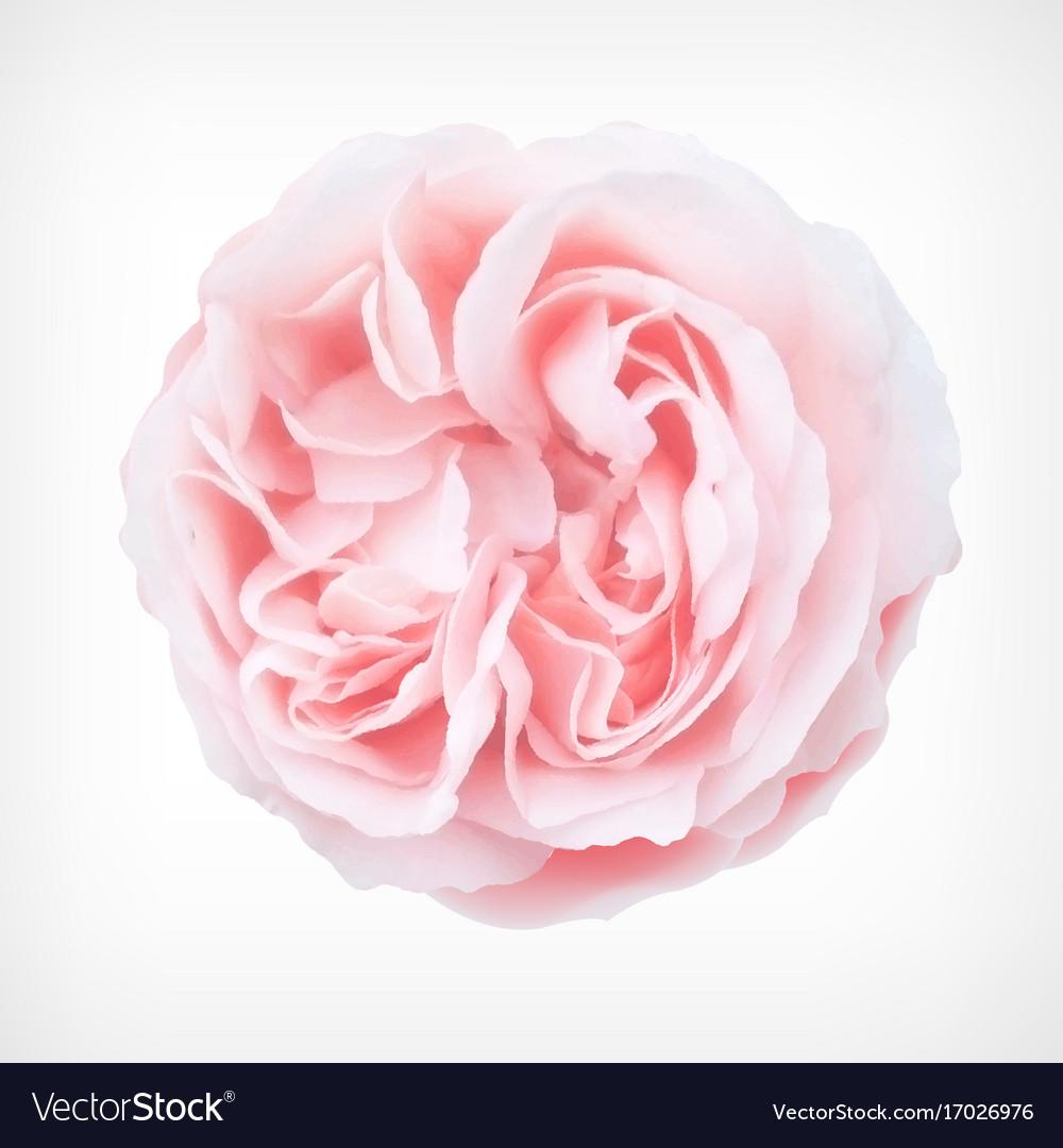 Pastel rose