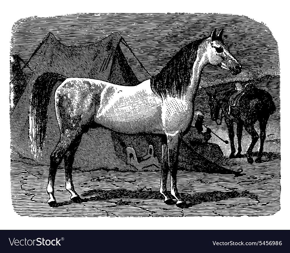 Horse engraving