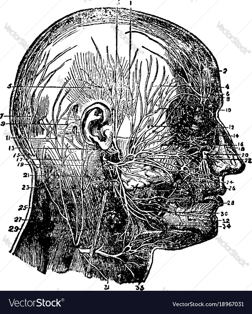 Nerves Of The Face And Scalp Vintage Royalty Free Vector