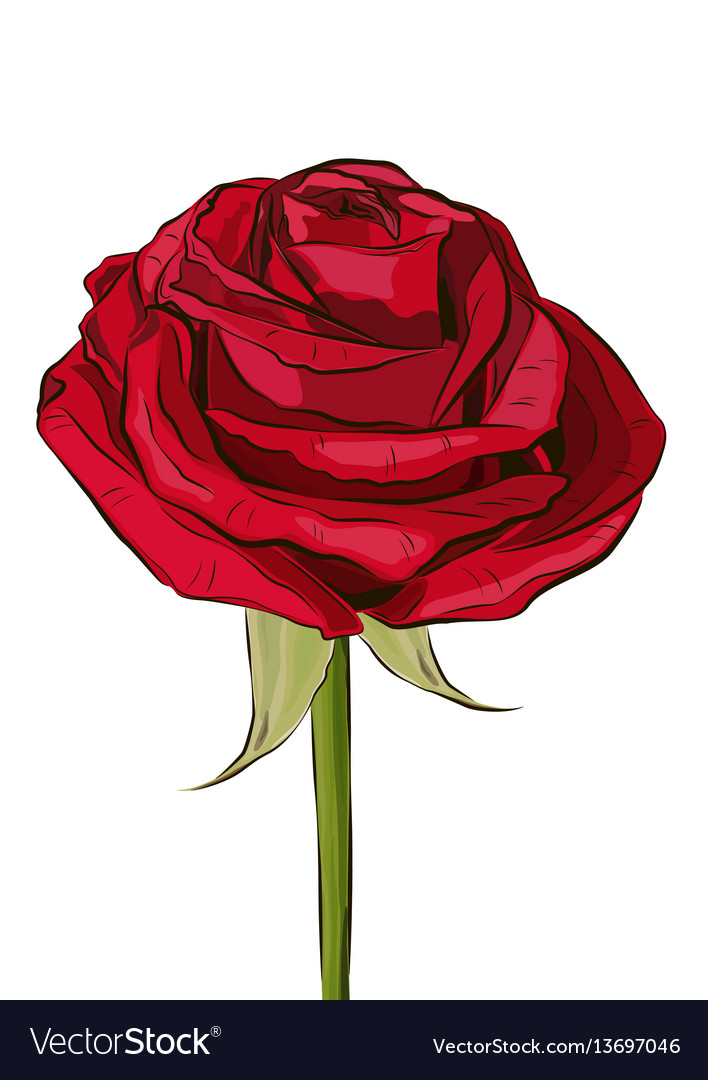 Outlined blooming red flower rose vector image