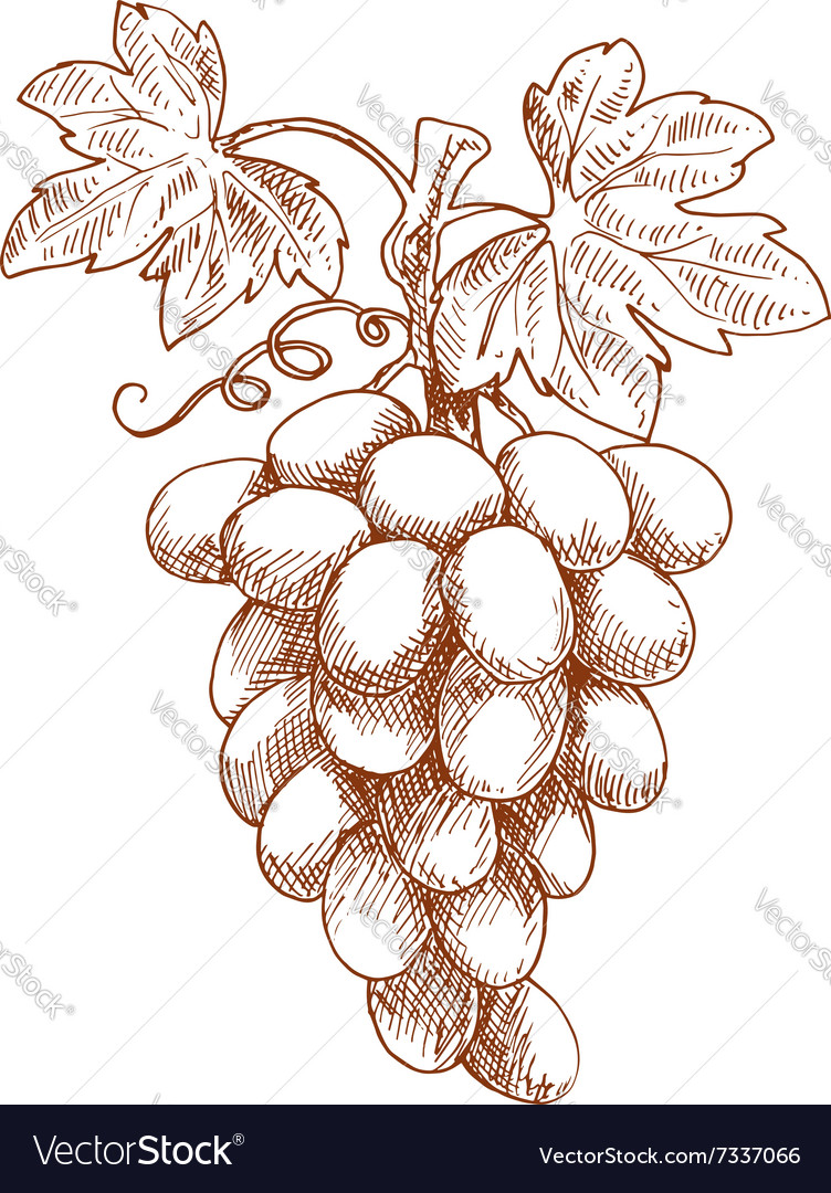 Bunch of grape fruit on grapevine sketch