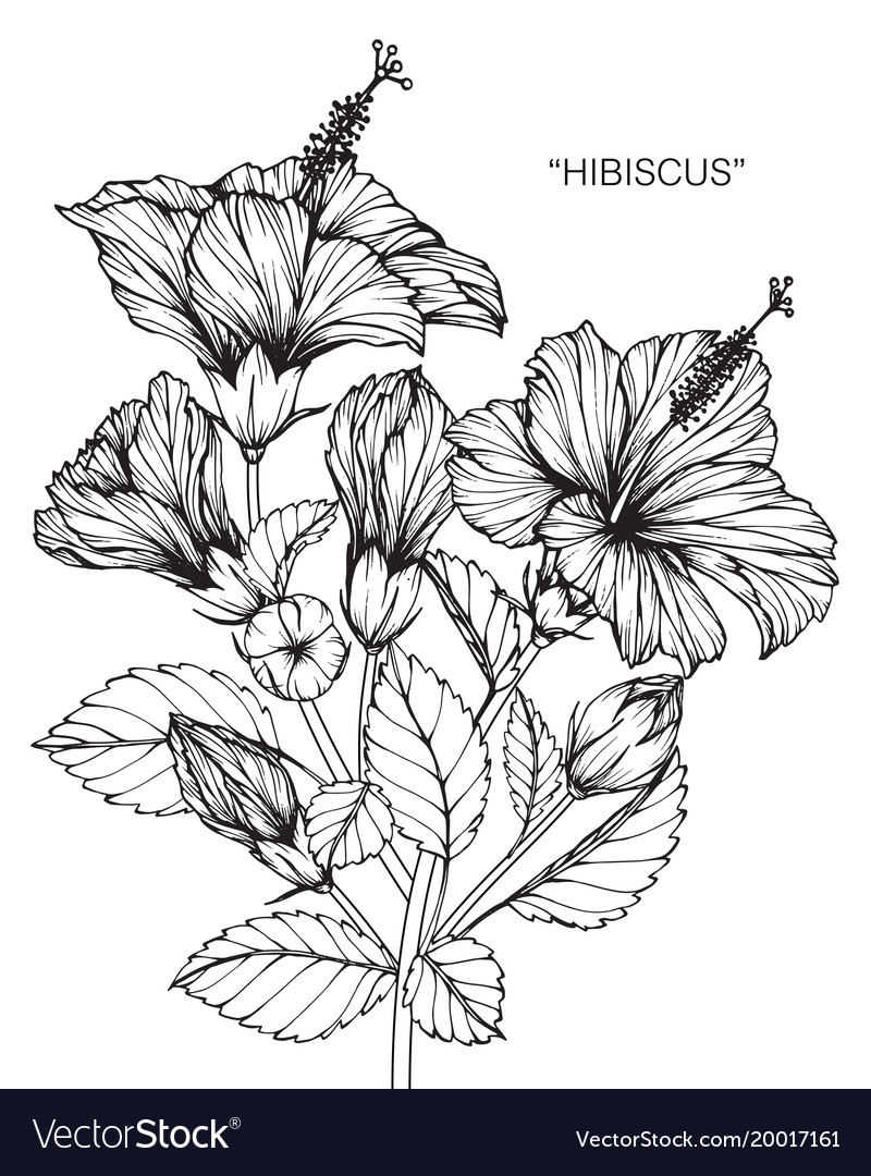 Hibiscus Flower Drawing Royalty Free Vector Image