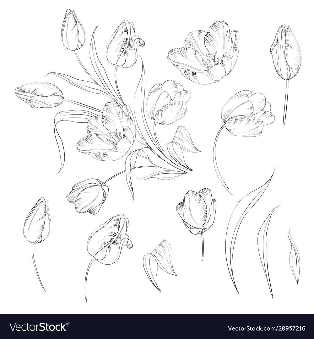 Hand drawn tulips collection in line style contour
