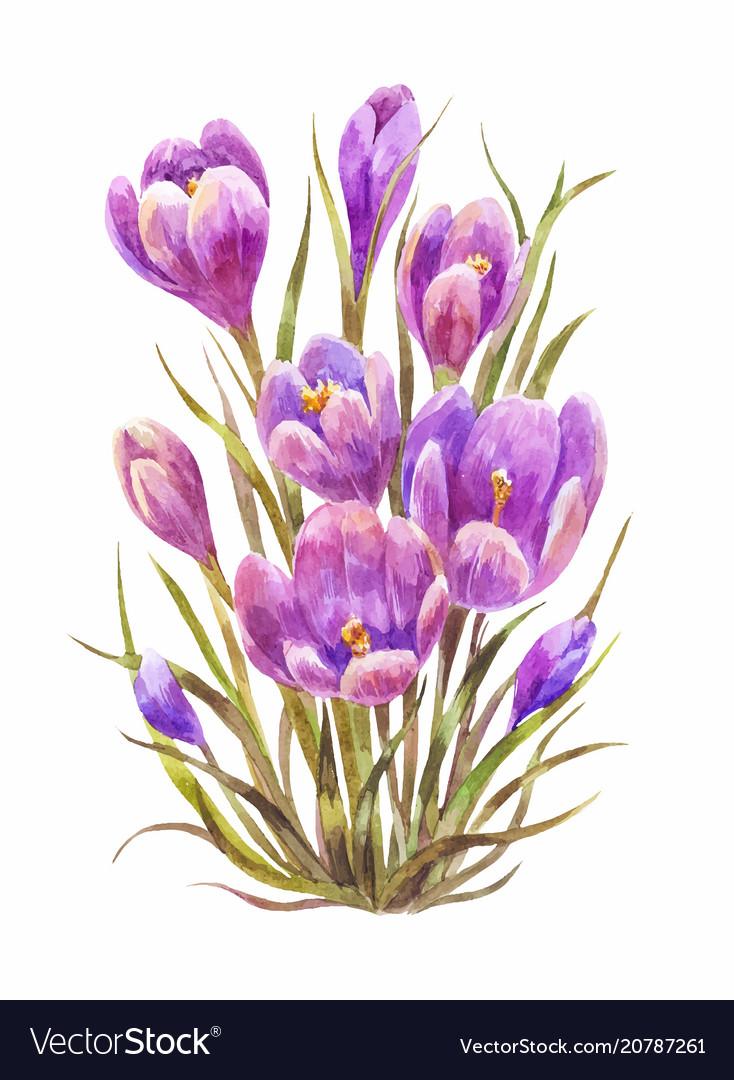 Watercolor Saffron Or Crocus Royalty Free Vector Image