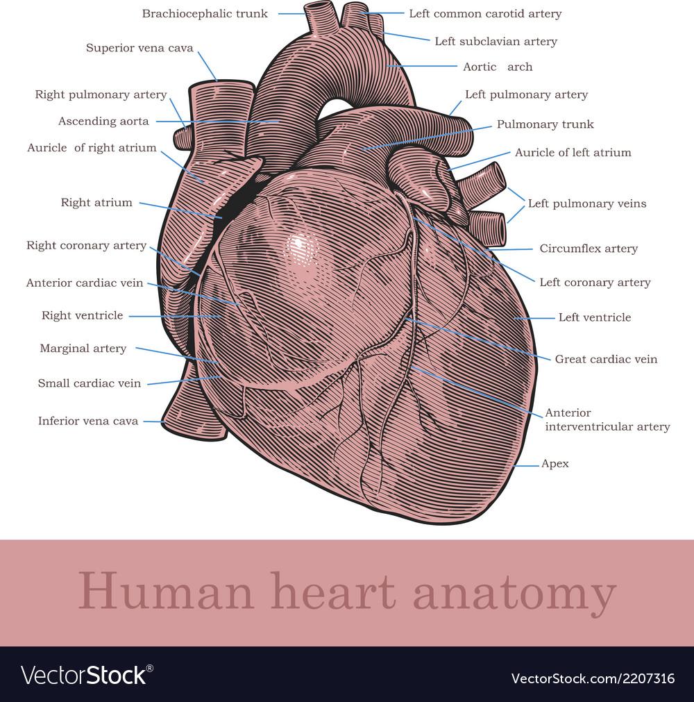 Human Heart Anatomy Royalty Free Vector Image Vectorstock