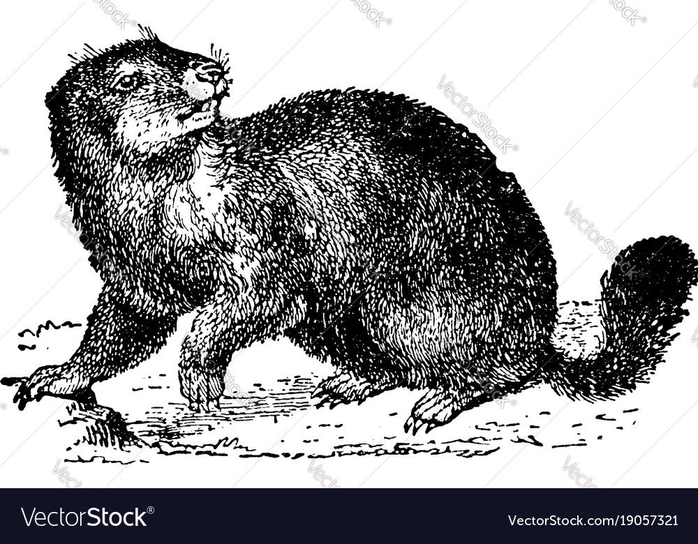 Marmot vintage