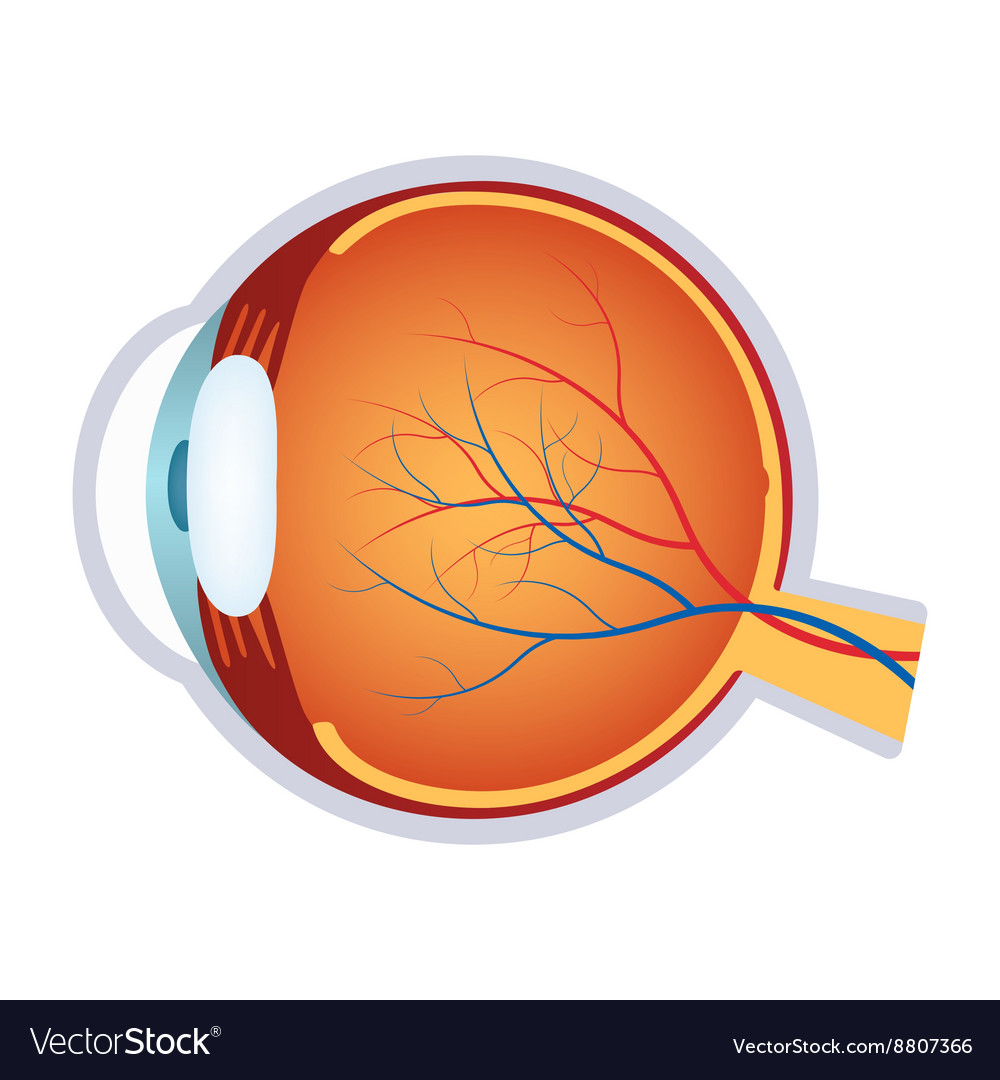 A Human Eye Anatomy Royalty Free Vector Image Vectorstock