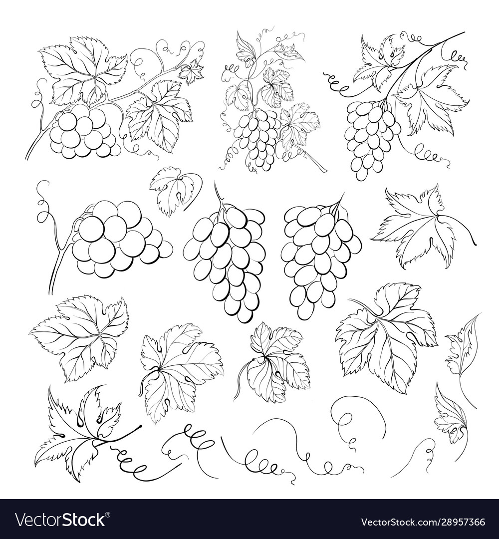 Grape bunch collection elements grapes