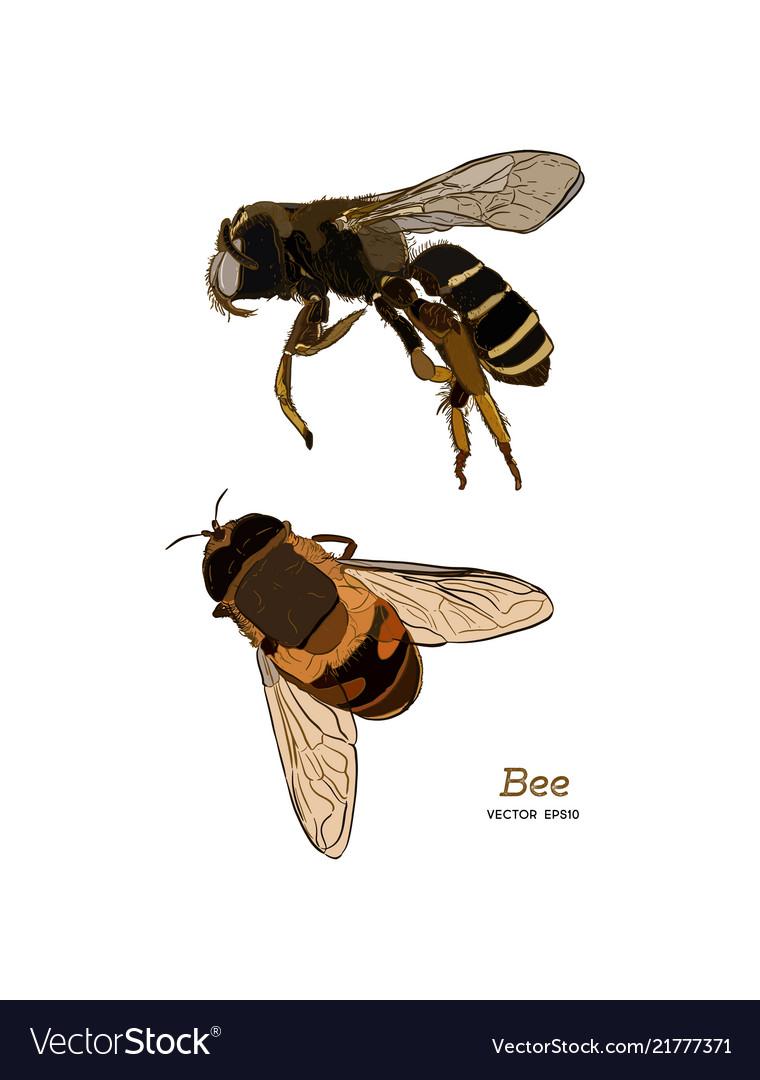 Engraving of honey bee