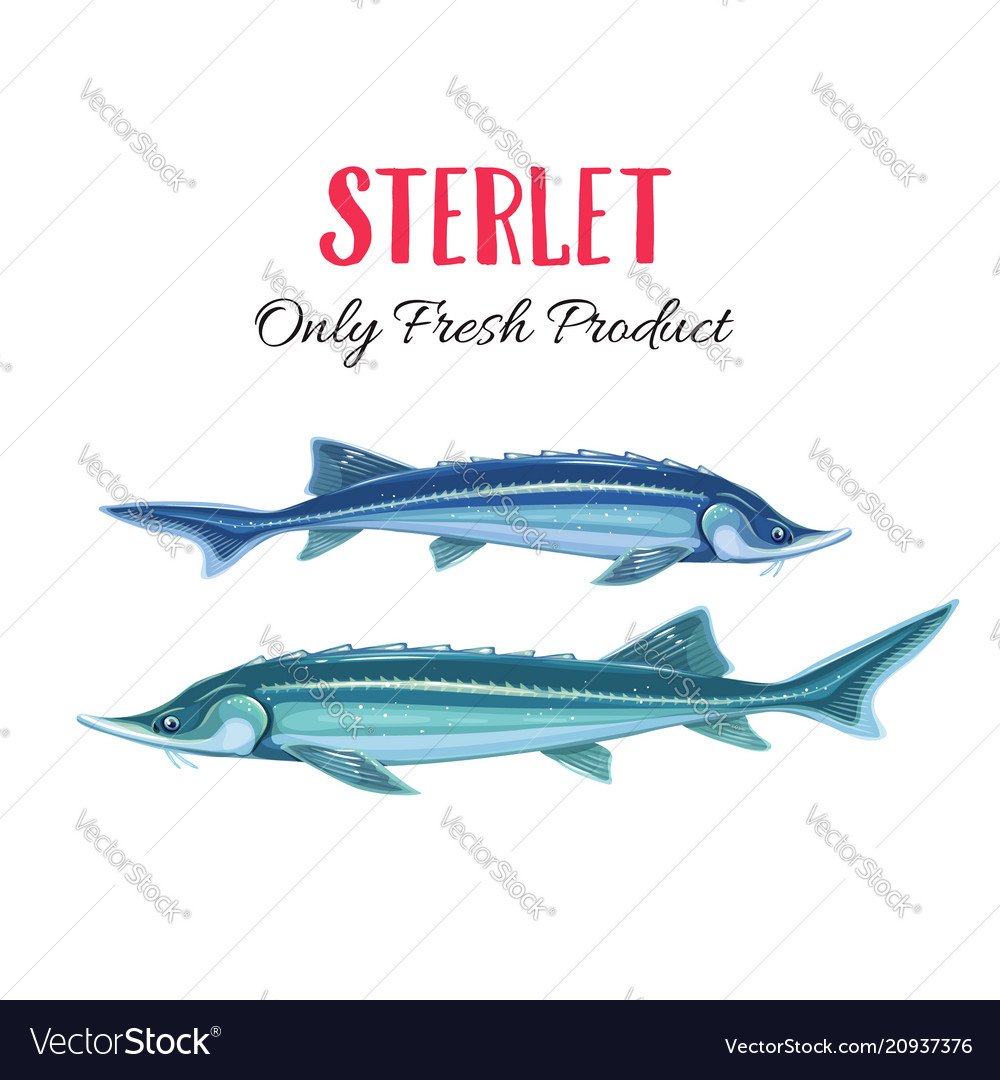 How to cook a sterlet