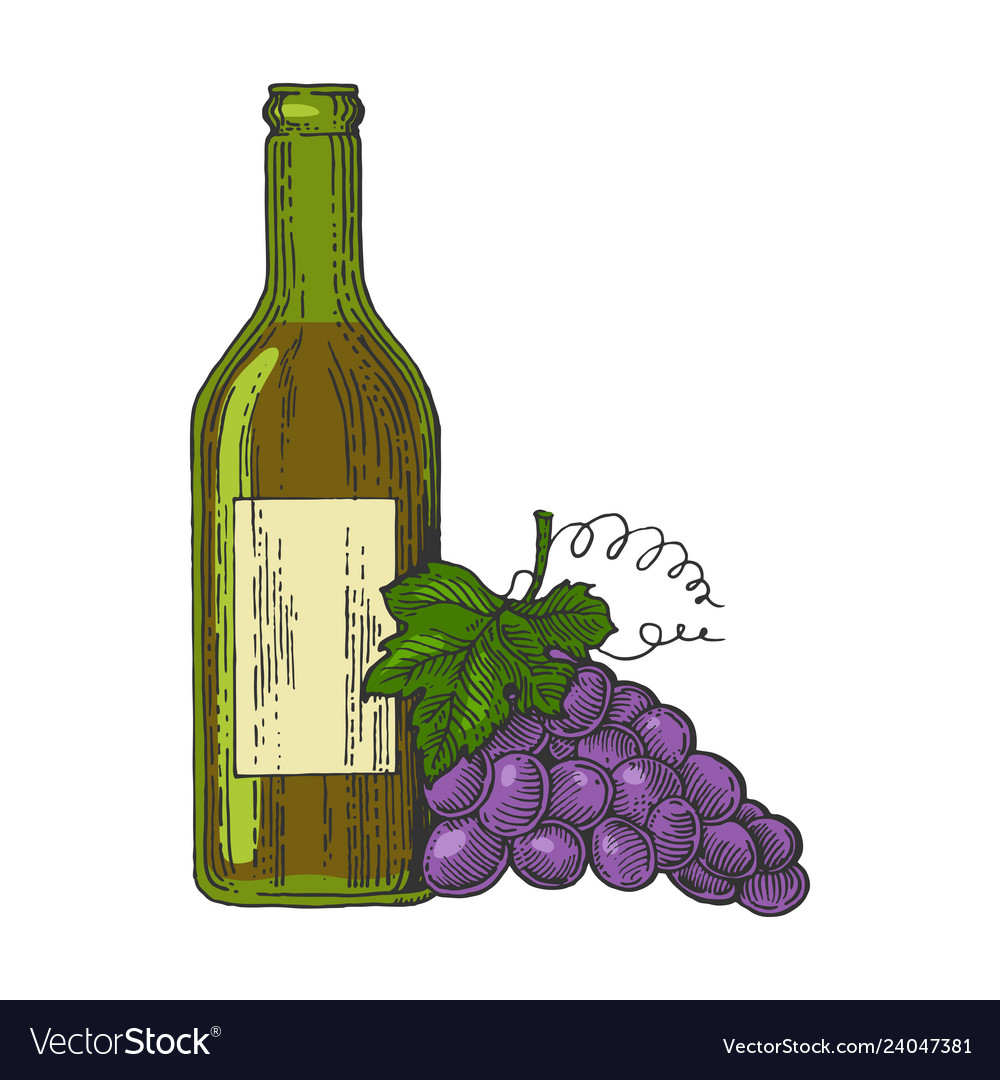 Bottle of wine and grapes color sketch engraving