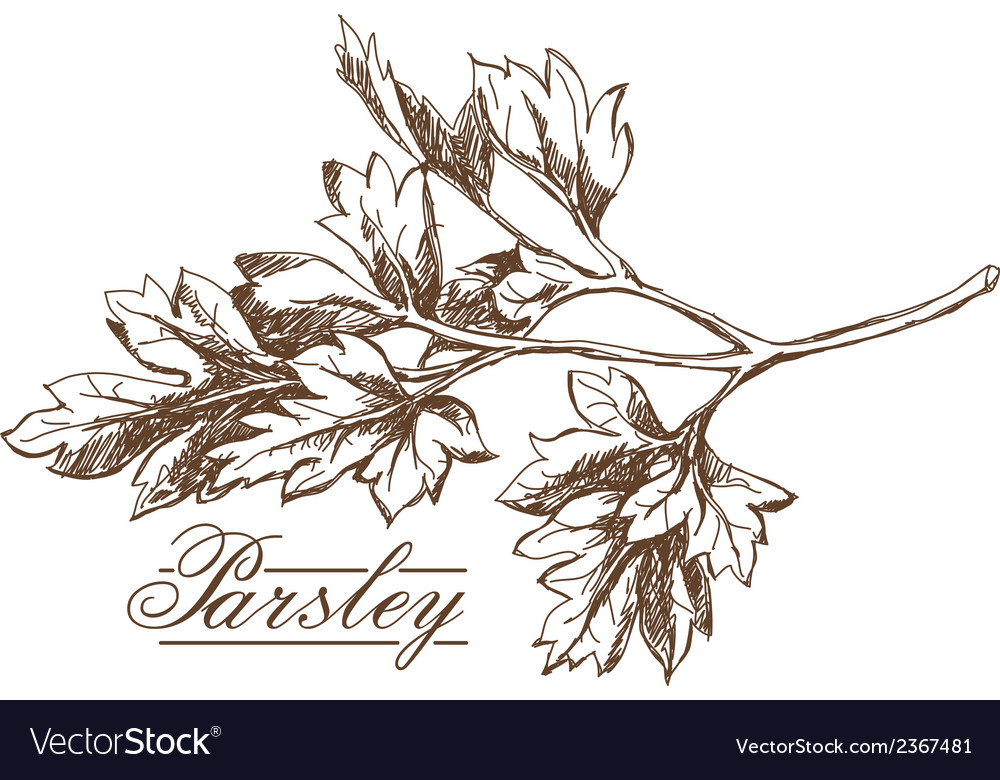 Parsley hand drawing vector image
