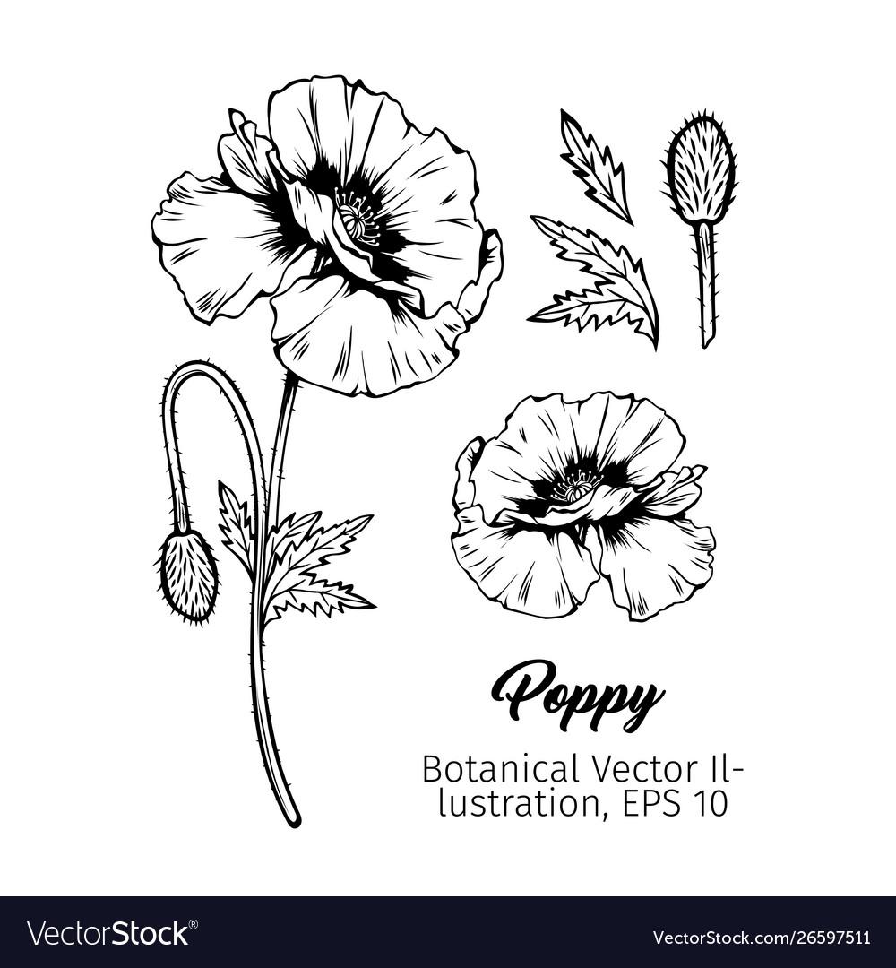 Poppies botanical black ink sketches set