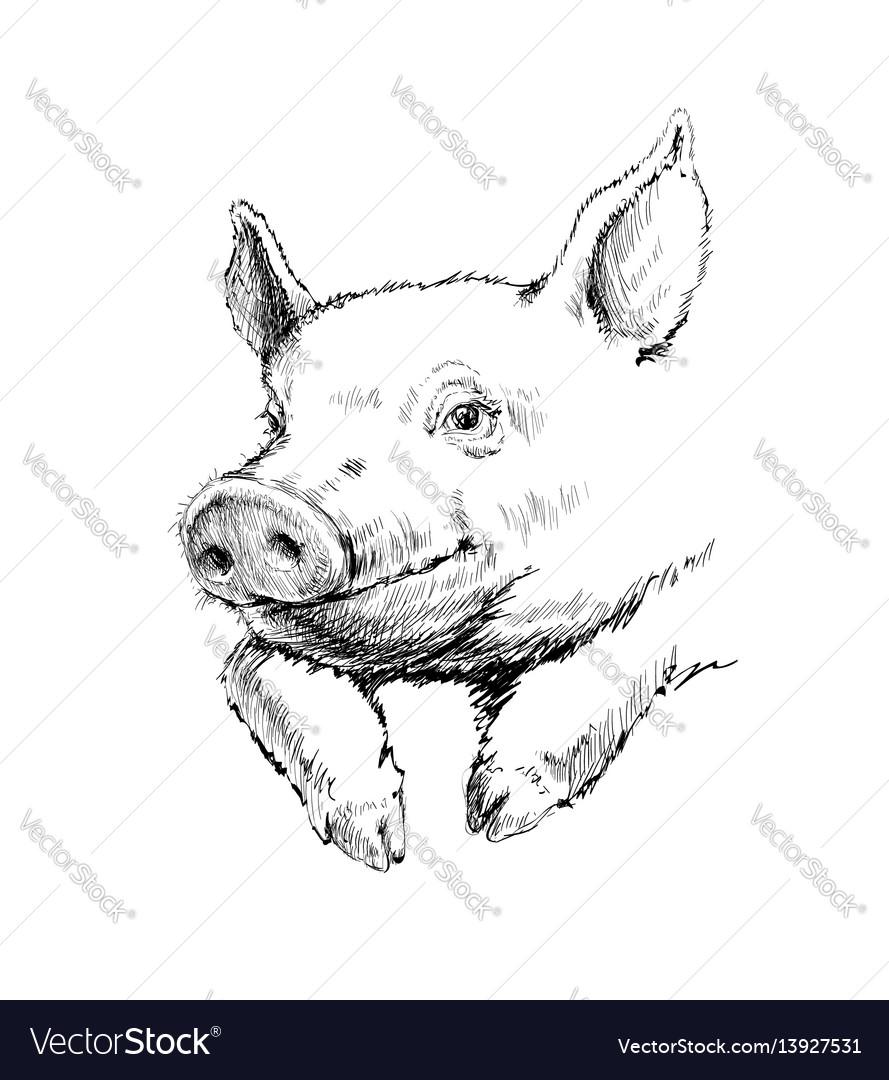 Hand drawn sketch pig