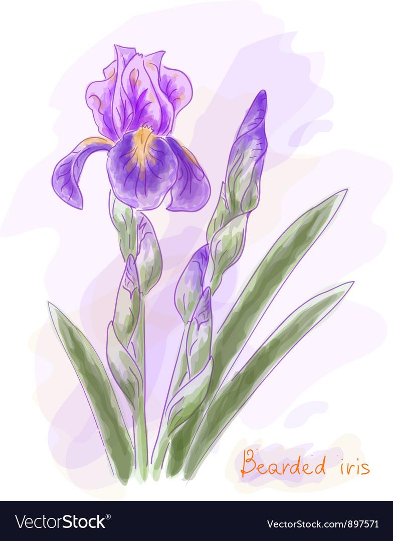 Bearded iris Watercolor imitation