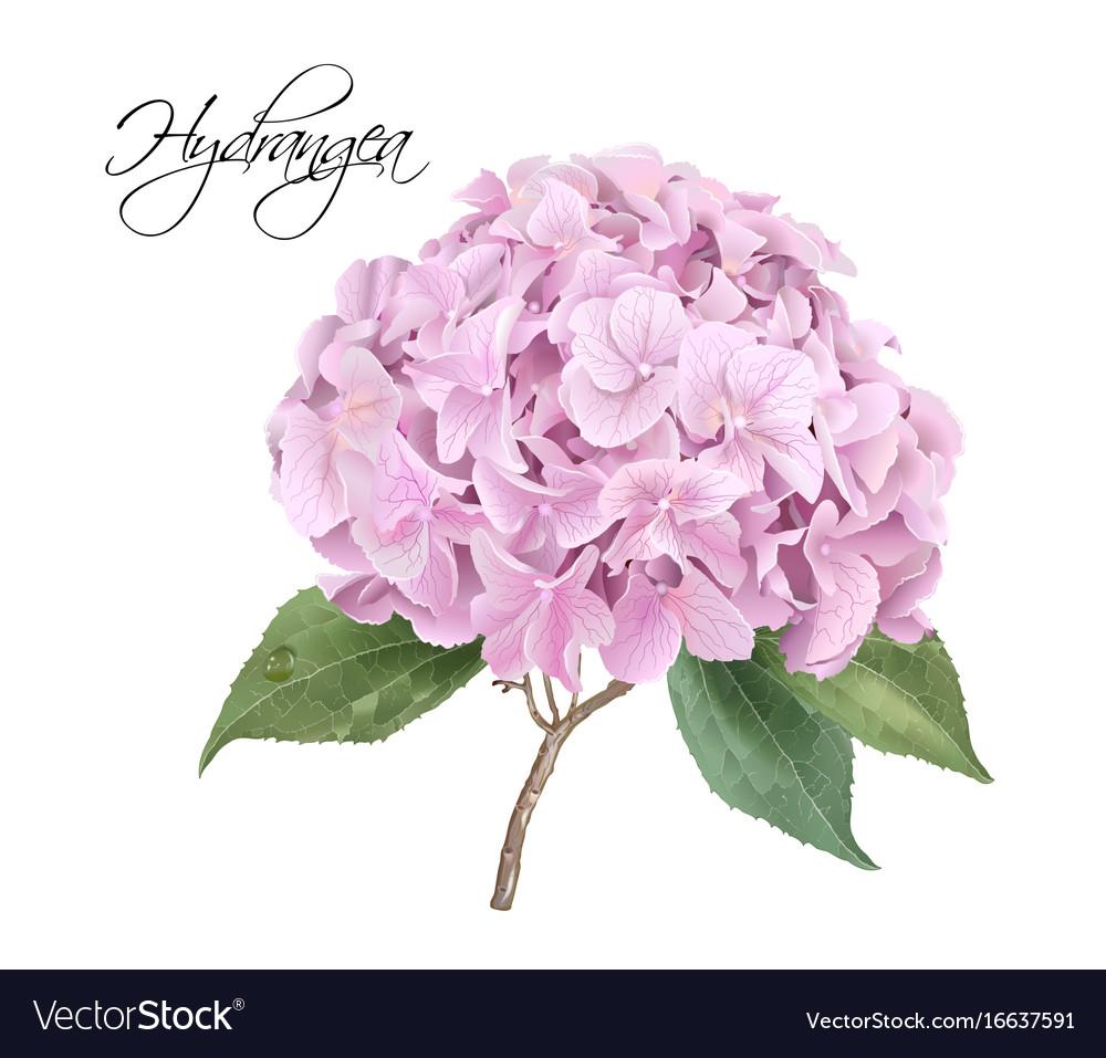 Hydrangea pink realistic