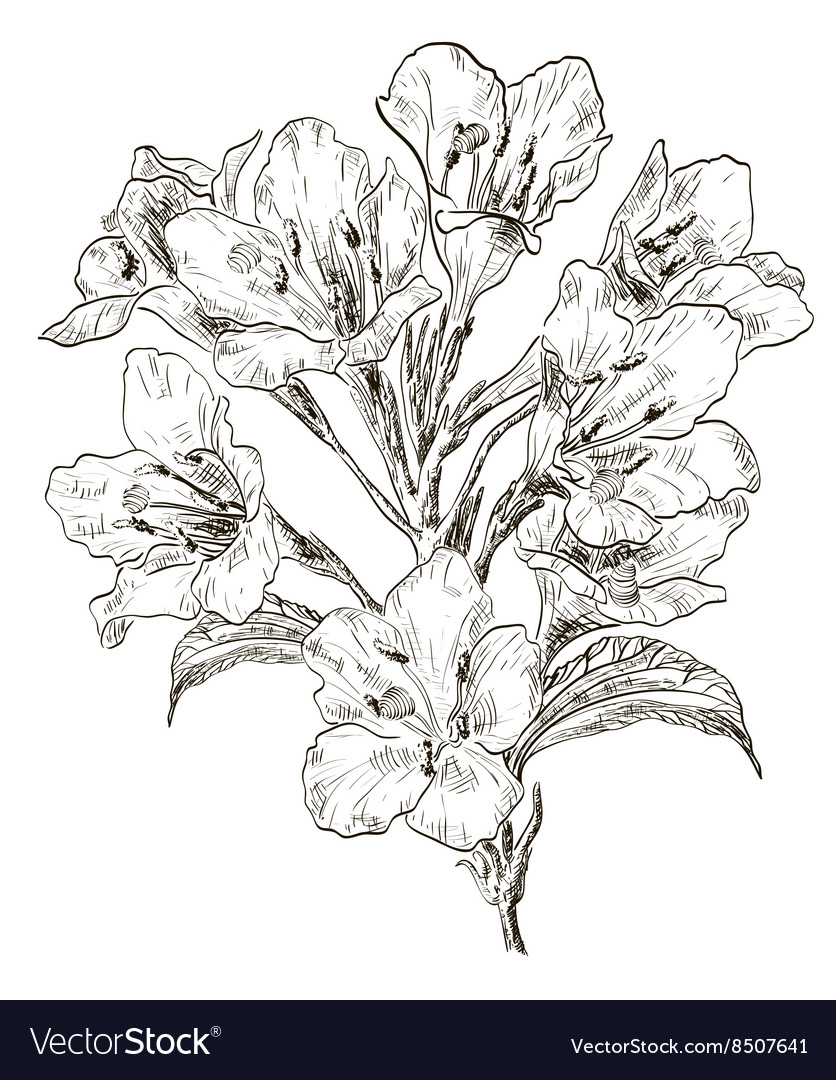 Hand Drawn Lily Flower Sketch Royalty Free Vector Image