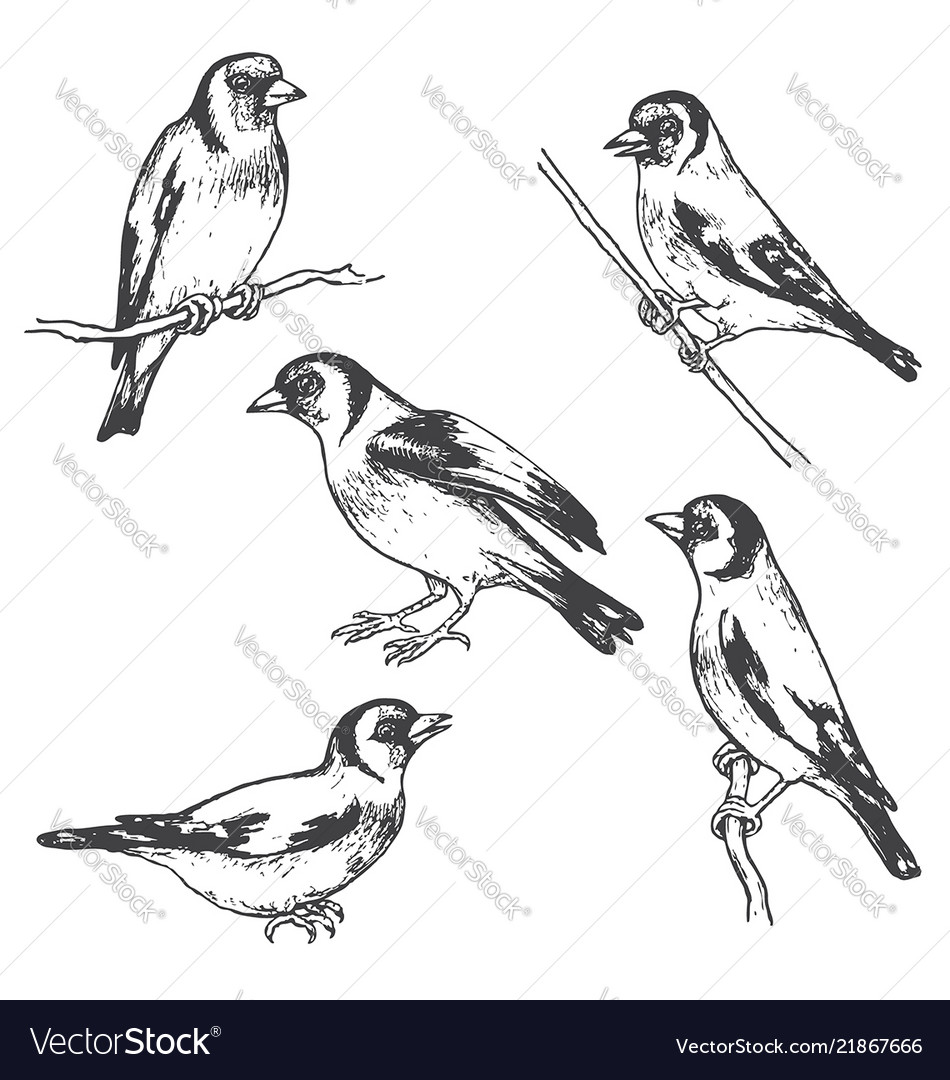 Hand drawn goldfinch bird sketch