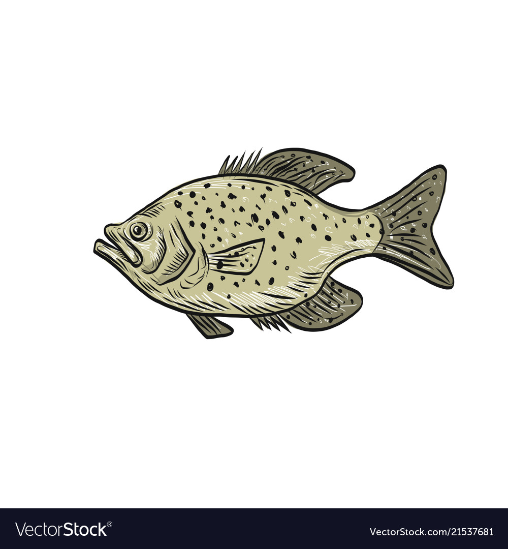 Crappie fish side drawing vector image