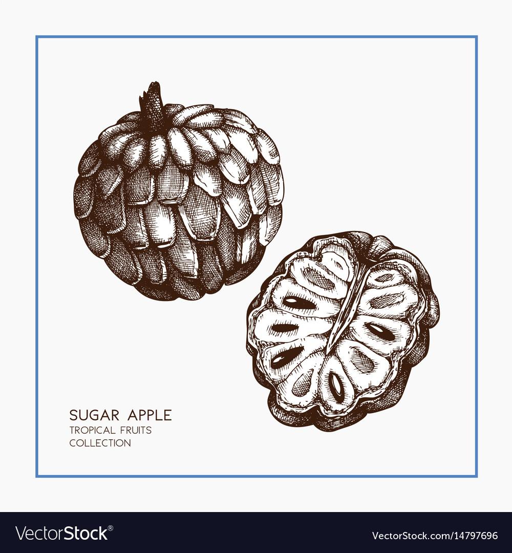 Sugar-apple hand drawn vector image