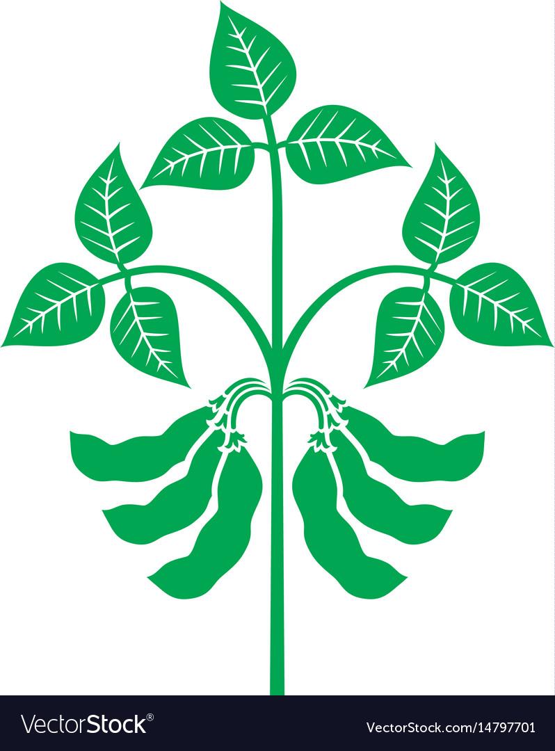 soybean plant royalty free vector image vectorstock