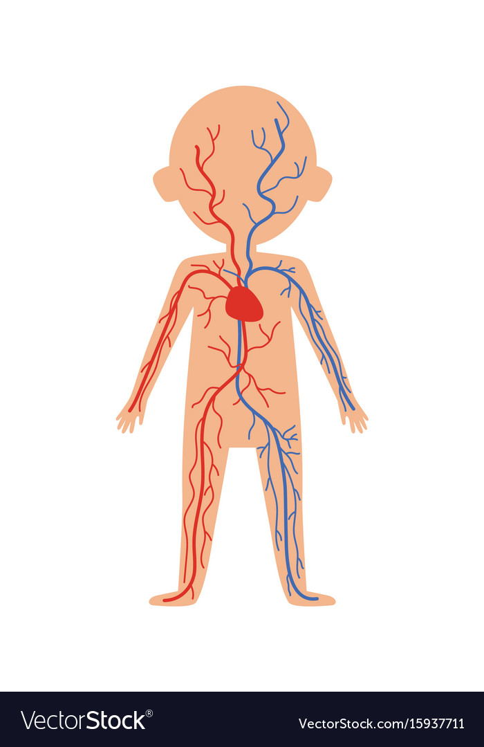 Boy Body Anatomy With Circulatory System Vector Image