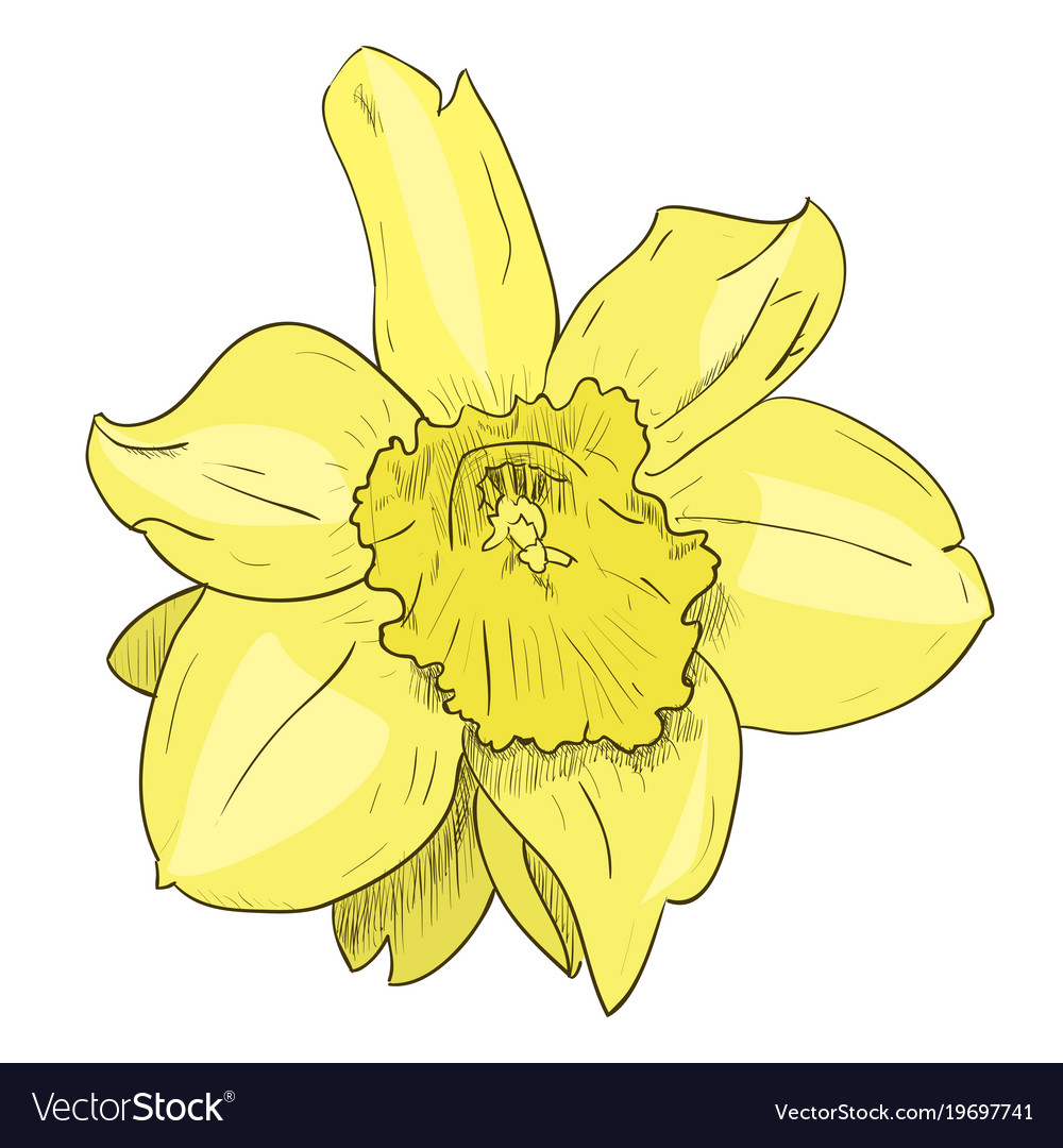 Color Sketch Of Yellow Flower Royalty Free Vector Image