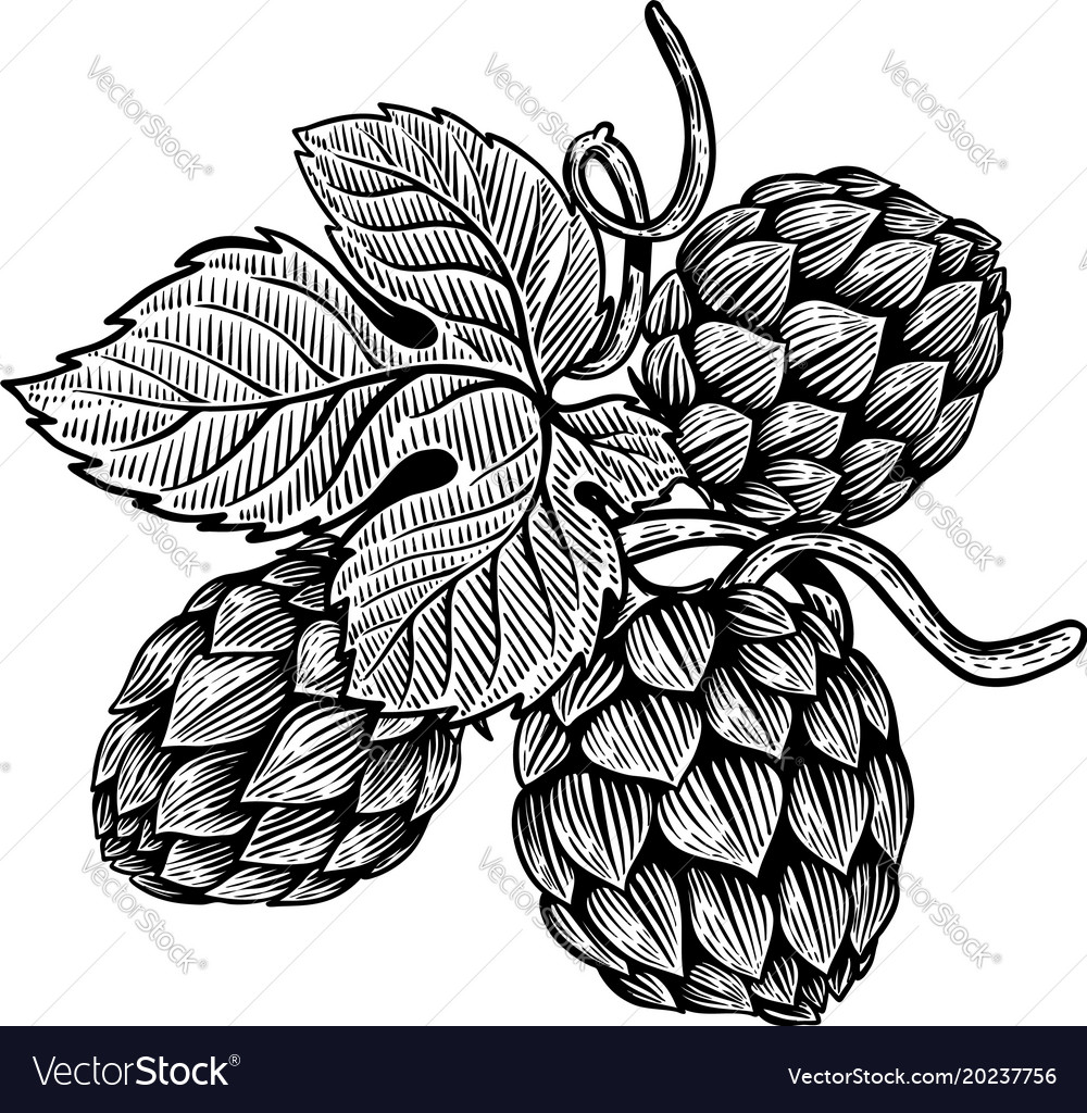 Beer hop in engraving style design element for