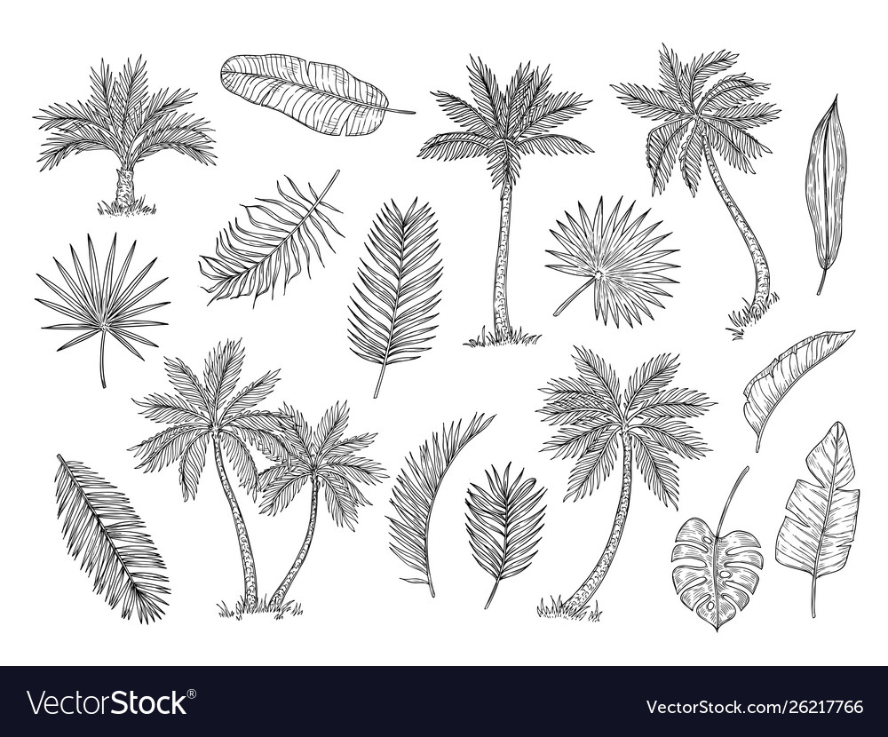 Sketch palm tree tropical rain forest trees and