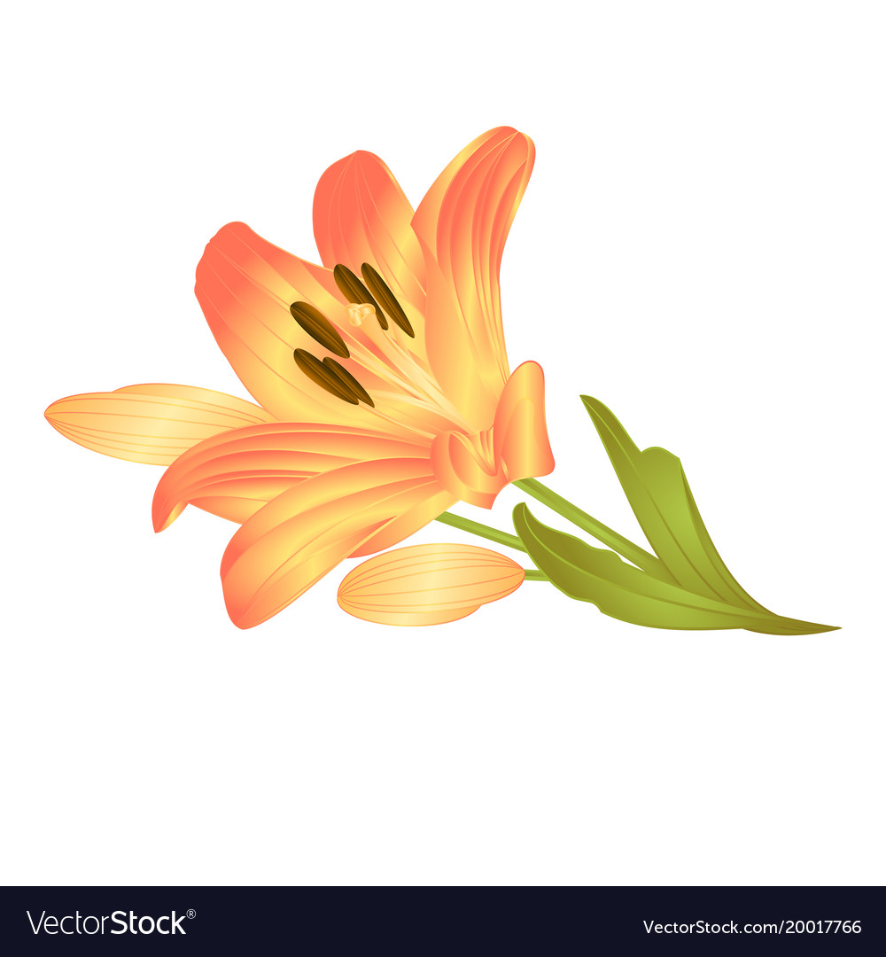 Yellow lily a yellow flower with leaves and buds vector image izmirmasajfo