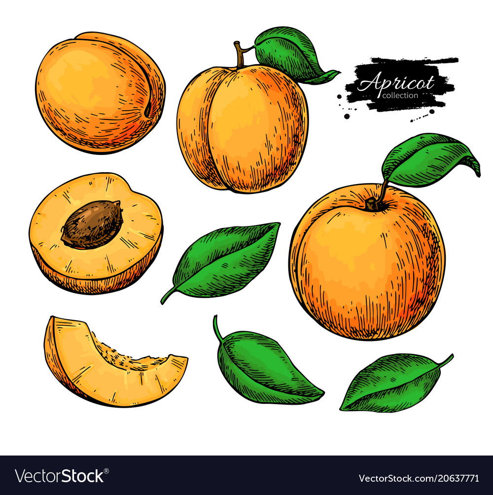 Apricot drawing set hand drawn fruit and