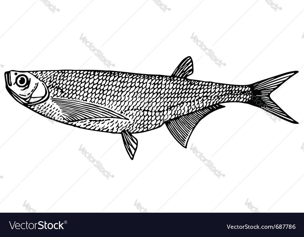 Fish ziege sabre carp