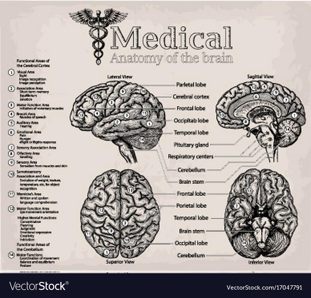 Occipital & Lobe Vector Images (53)