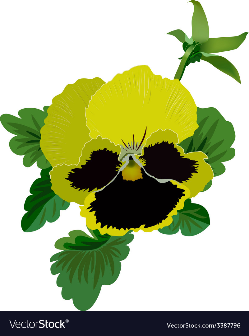 Yellow Pansy Flower With Leaves And Bud Royalty Free Vector