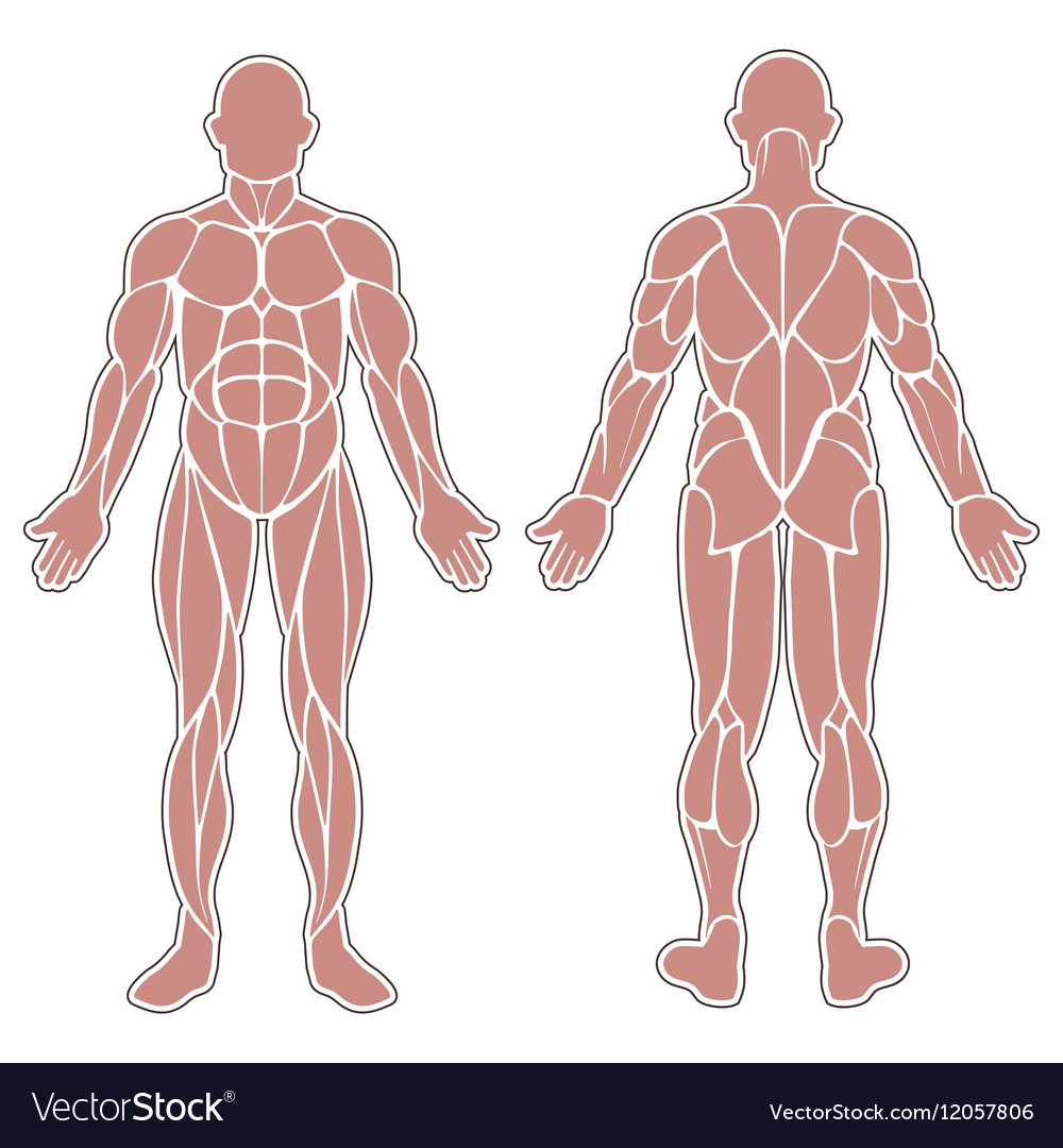 Human body muscles vector image on VectorStock