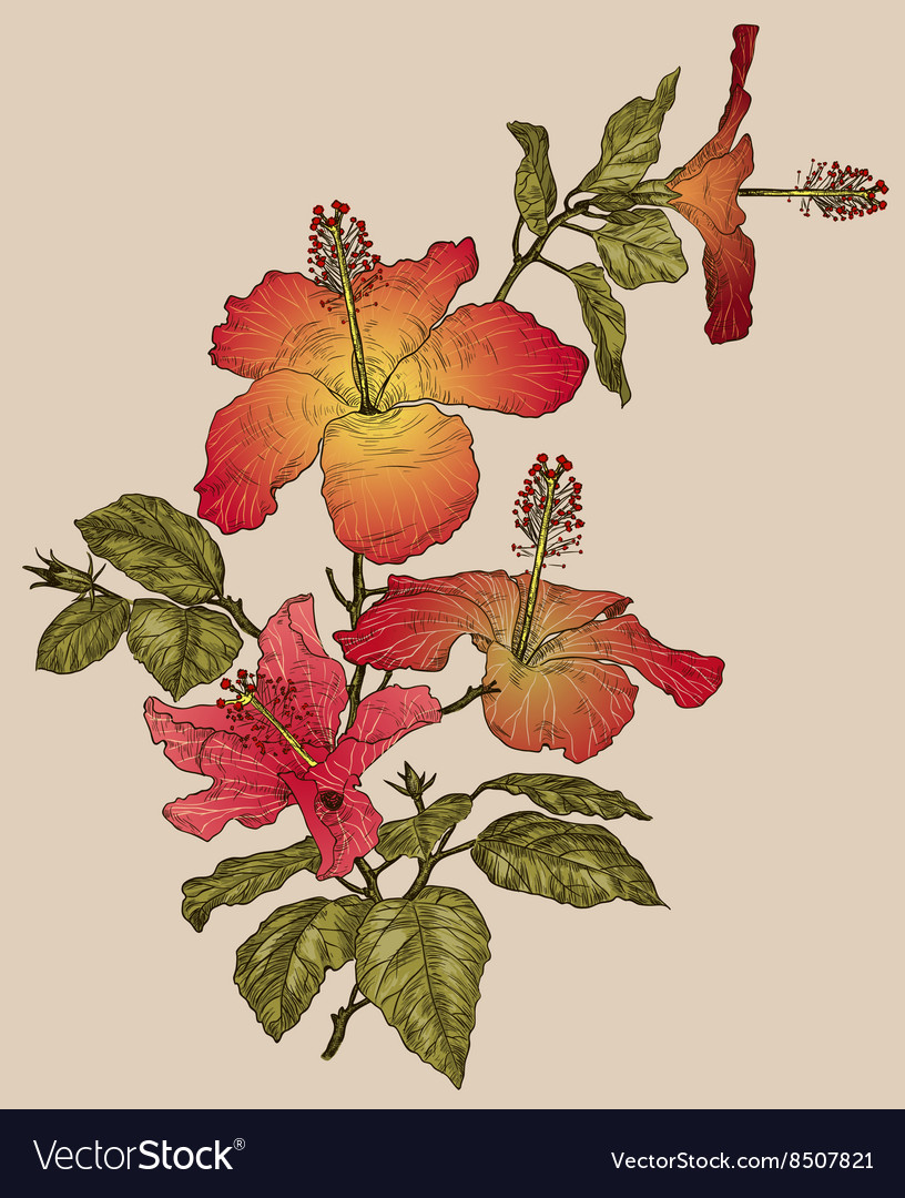 Hibiscus Flower Sketch vector image