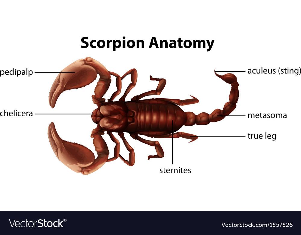 Scorpion Anatomy Royalty Free Vector Image - VectorStock