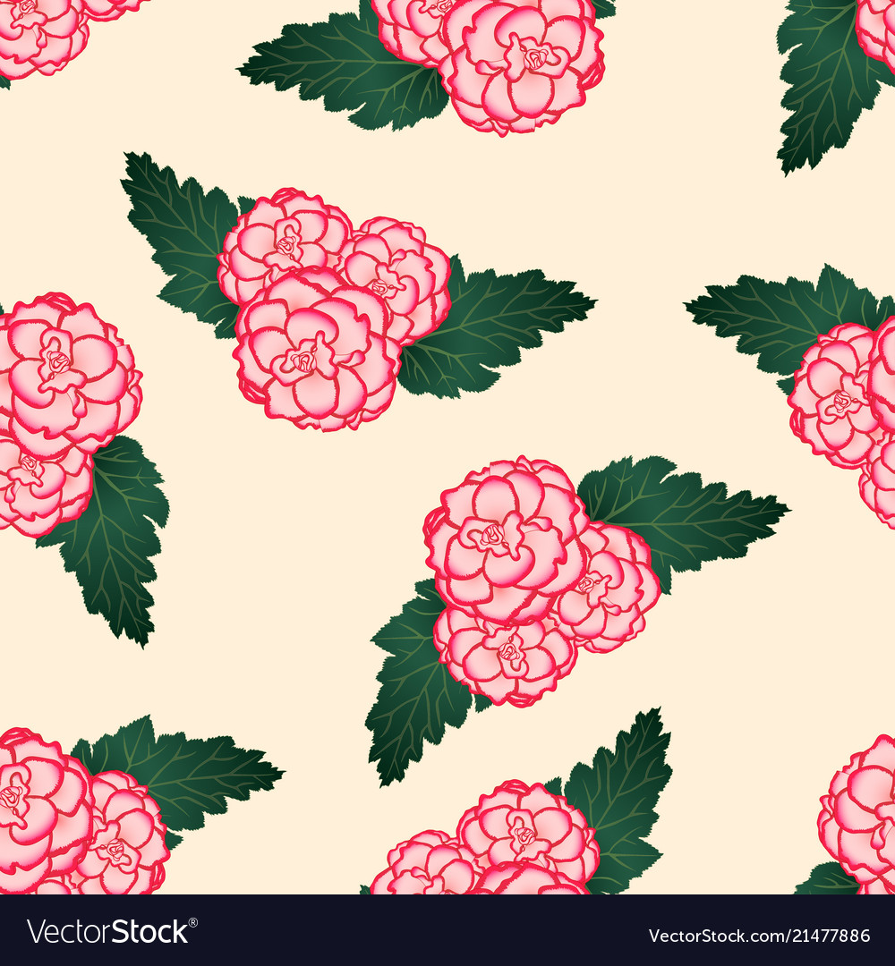 Pink begonia flower picotee first love on beige